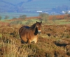 photo of exmoor pony on punchbowl