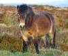 photo of exmoor pony