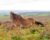 photo of exmoor pony and view across devon countryside